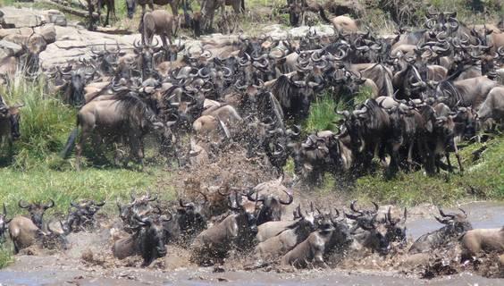 Petra Schwarzinger fotografierte mit ihrer Panasonic Lumix FZ 50 eine Herde Gnus bei der Überquerung des Mara River in Tansania.  © Petra Schwarzinger